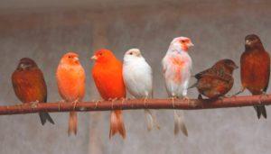 факт Перья канарейки могут менять цвет