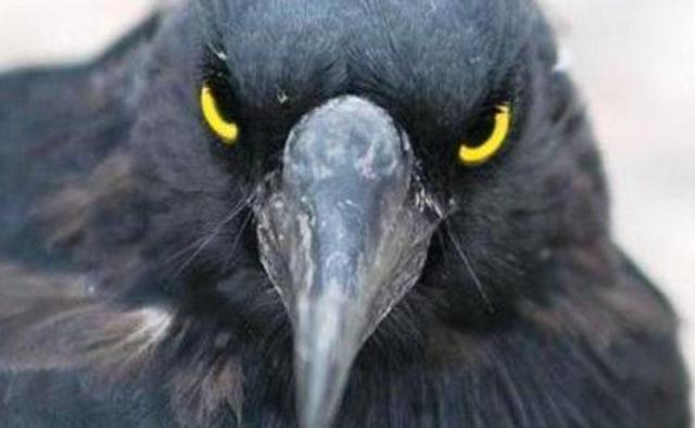 Убийца ворон нападал на человека в течение трех лет после того, как один из его птенцов умер в руках человека