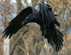 Убийца ворон нападал на человека