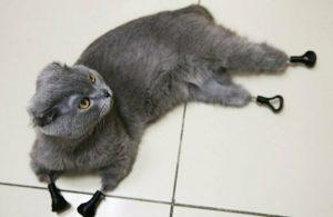 Кошка Дымка с 4 обмороженными лапами получает новые лапы из титана