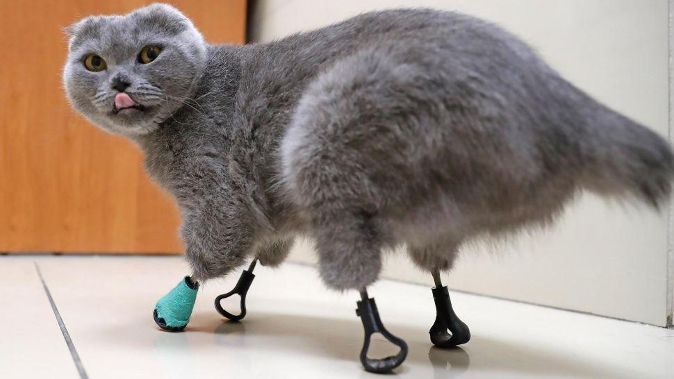 Кошка Дымка с 4 обмороженными лапами получает новые лапы из титана.
