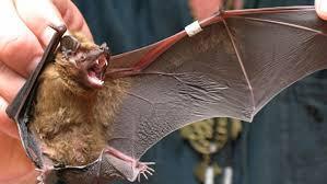 Новый коронавирус возможно начался у летучих мышей