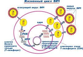 Жизненный цикл вируса иммунодефицита человека