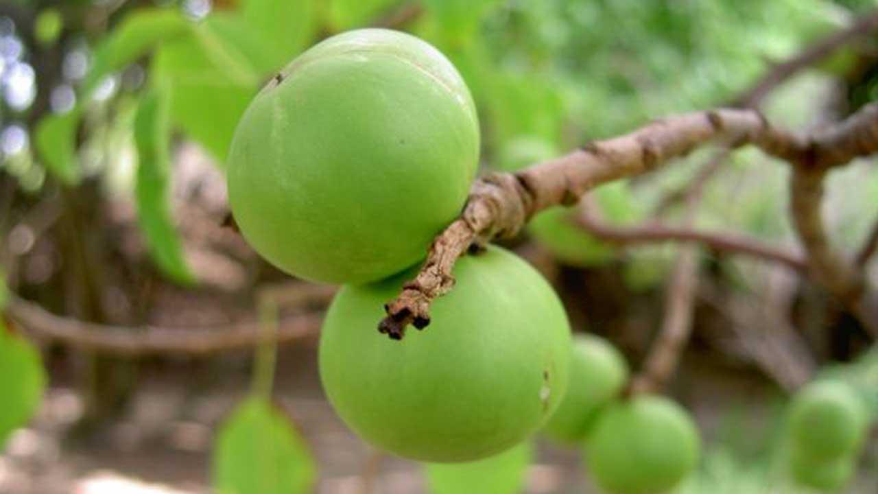 Маленькое яблоко смерти. Манцинелловое дерево