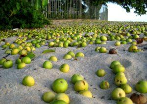 Маленькое яблоко смерти Манцинелловое дерево