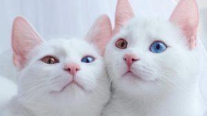 Топ самых дорогих пород кошек