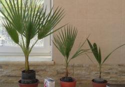 Вырастить пальму из семян в домашних условиях