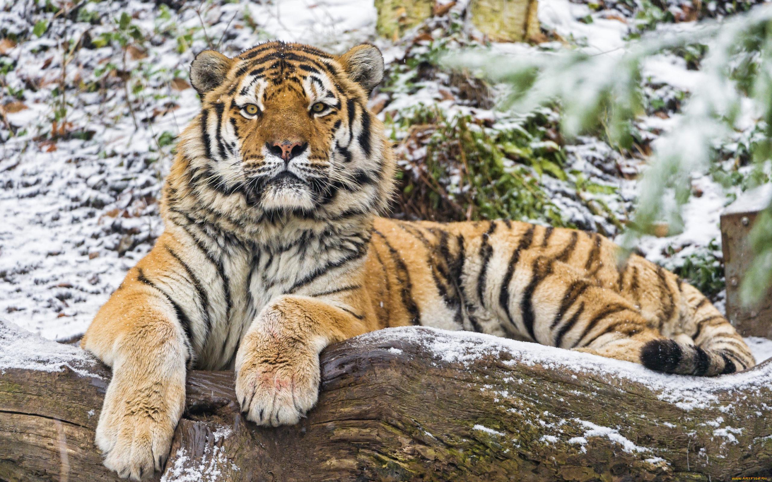 Тигры – самые большие кошки в природе